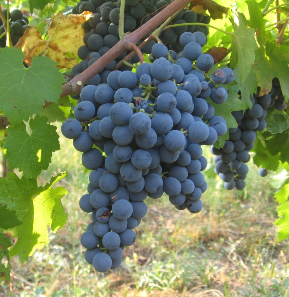 A bunch of Carmenere grapes