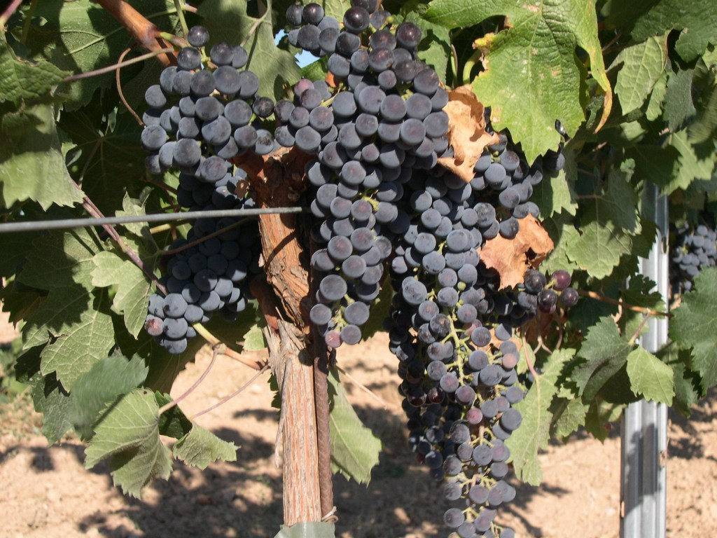 Bunch of Merlot Grapes